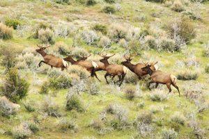 colorado-elk